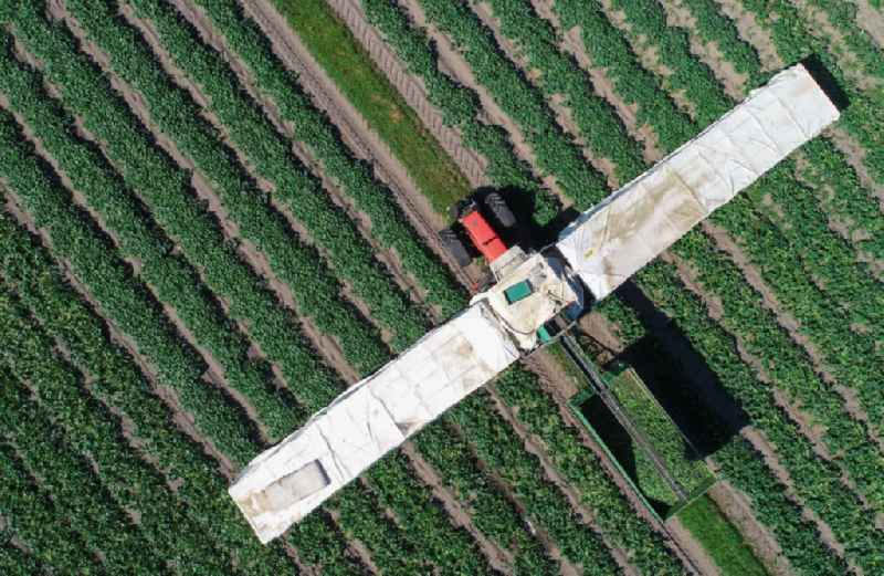 Cucumber flyers harvesting cucumbers in agricultural fields in Niewitz in the state Brandenburg, Germany