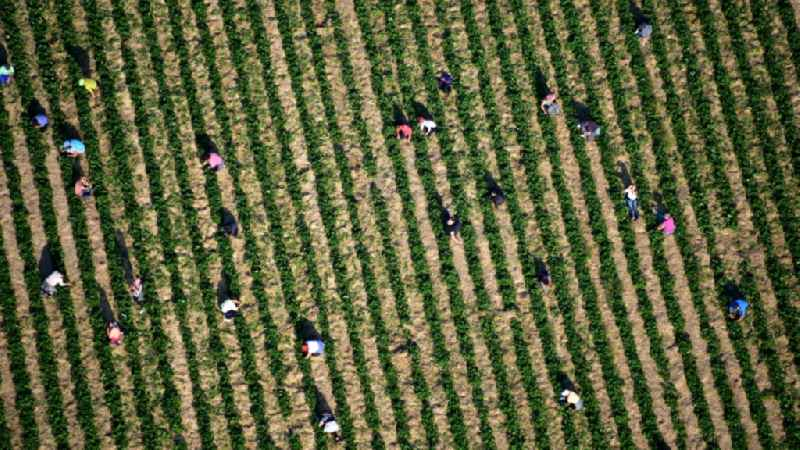 Work on the strawberry harvest with harvest workers on rows of agricultural fields in Oeverich in the state Rhineland-Palatinate, Germany