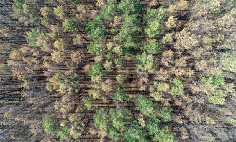 Vertical aerial view from the satellite perspective of the tree dying and forest dying with skeletons of dead trees in the remnants of a forest area in Klausdorf in the state Brandenburg, Germany